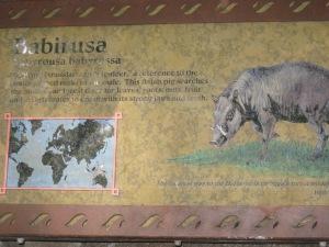 Babirusa Info